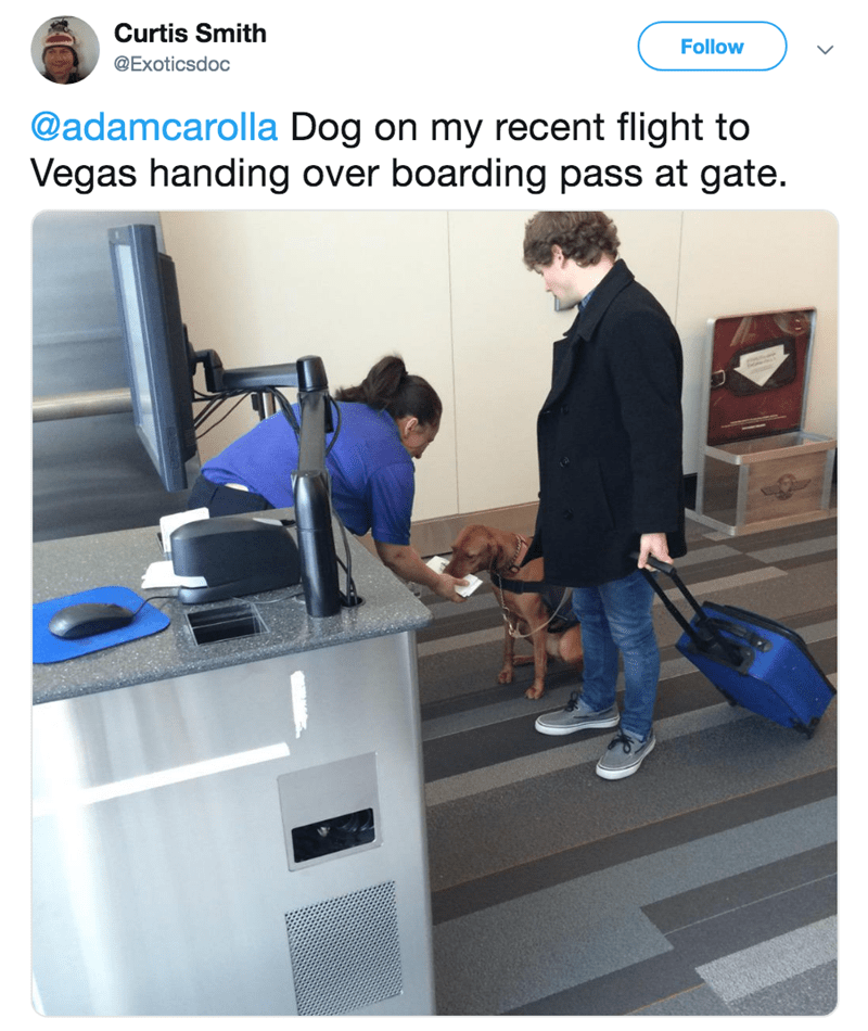Product - Curtis Smith Follow @Exoticsdoc @adamcarolla Dog on my recent flight to Vegas handing over boarding pass at gate.