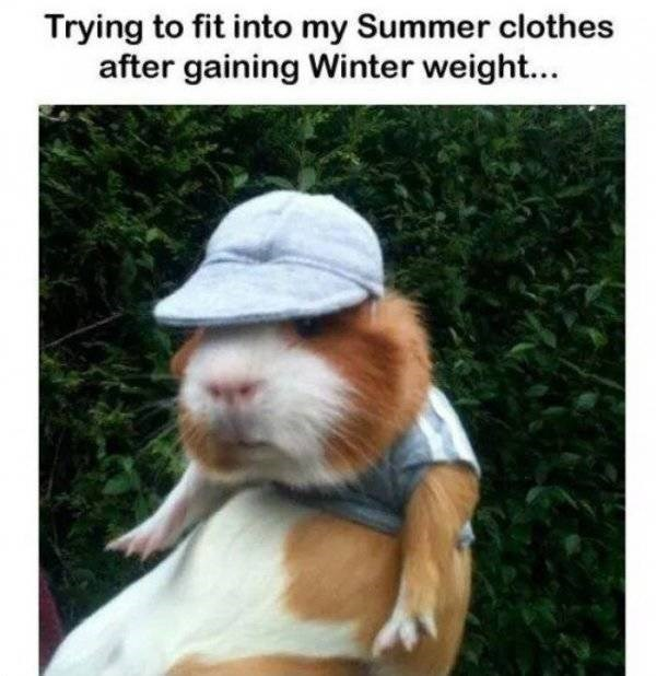 Guinea pig - Trying to fit into my Summer clothes after gaining Winter weight...