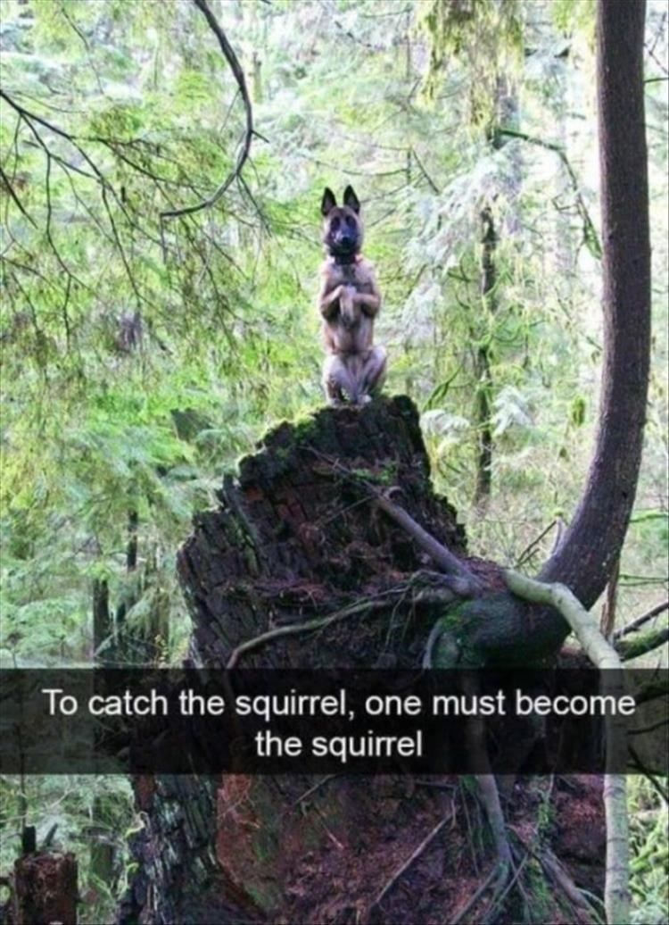 dog memes - Wildlife - To catch the squirrel, one must become the squirrel