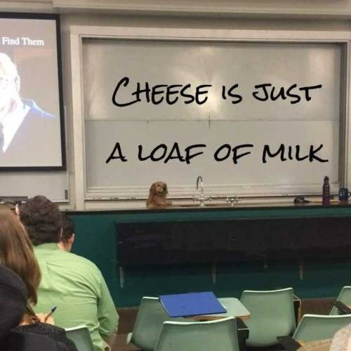 pic of a dog on a podium in front of a class appearing to be presenting a lecture about cheese being a loaf of milk