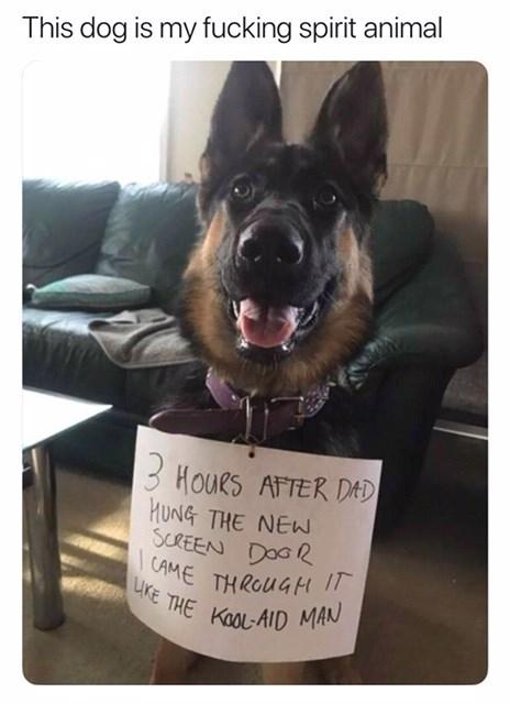 Spirit animal meme, dog who game through new screen door like the kool-aid man.