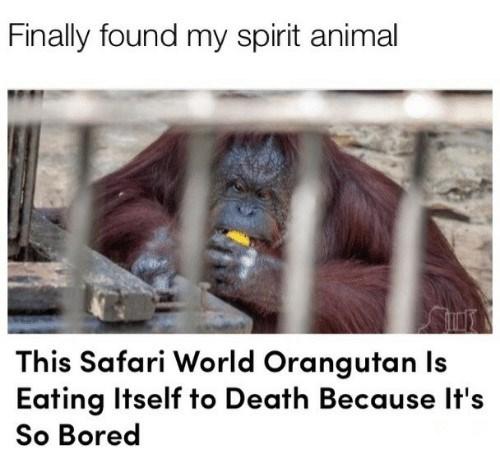 spirit animal orangutan.