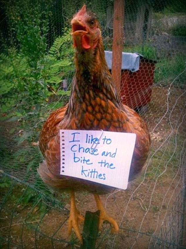 chicken meme - Chicken - I like to Chase and bite the kithes