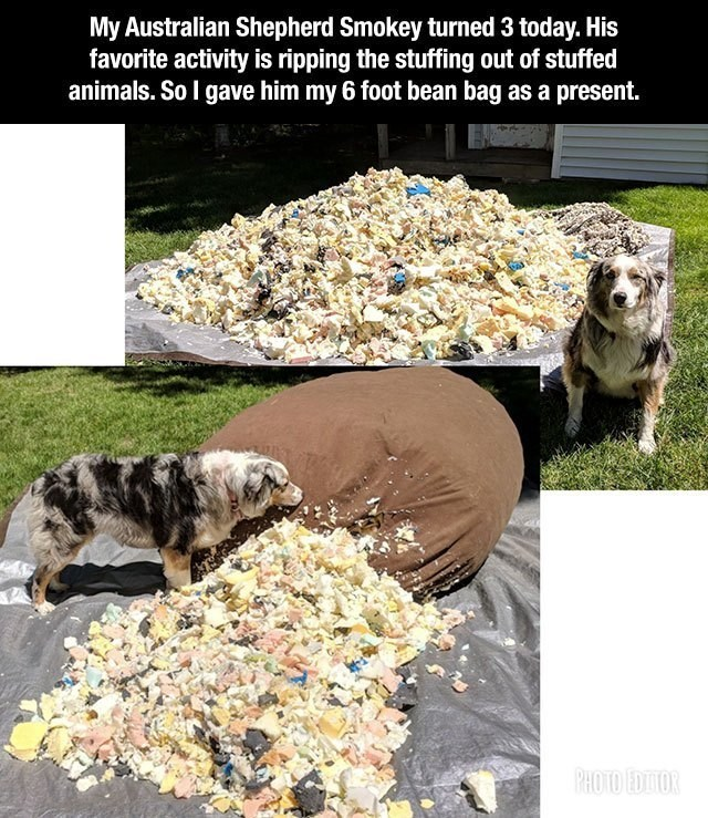 wholesome memes - Canidae - My Australian Shepherd Smokey turned 3 today. His favorite activity is ripping the stuffing out of stuffed animals. So I gave him my 6 foot bean bag as a present. PHOTO EDITOR