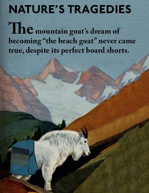 "animal facts - Text - NATURE'S TRAGEDIES The mountain goat's dream of becoming ""the beach goat"" never came true, despite its perfect board shorts."