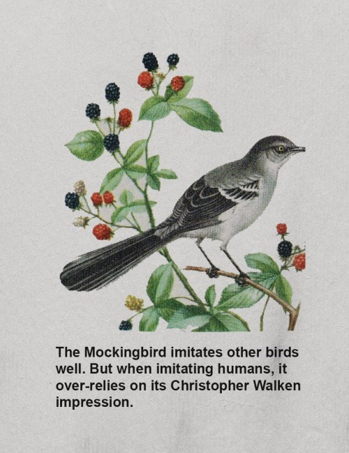 animal facts - Bird - The Mockingbird imitates other birds well. But when imitating humans, it over-relies on its Christopher Walken impression.