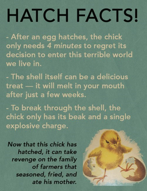 animal facts - Text - HATCH FACTS! After an egg hatches, the chick only needs 4 minutes to regret its decision to enter this terrible world we live in. The shell itself can be a delicious it will melt in your mouth treat after just a few weeks. - To break through the shell, the chick only has its beak and a single explosive charge. Now that this chick has hatched, it can take revenge on the family of farmers that seasoned, fried, and ate his mother.