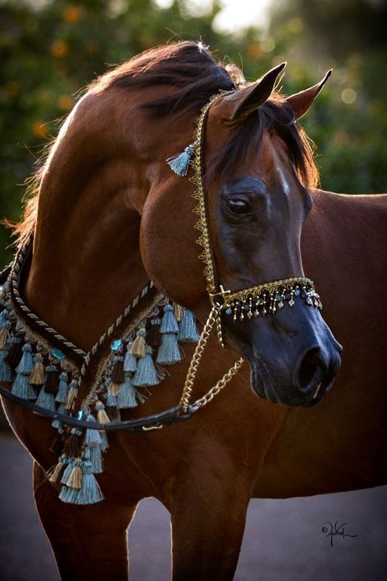brown Horse decorated with a blue and gold bridle