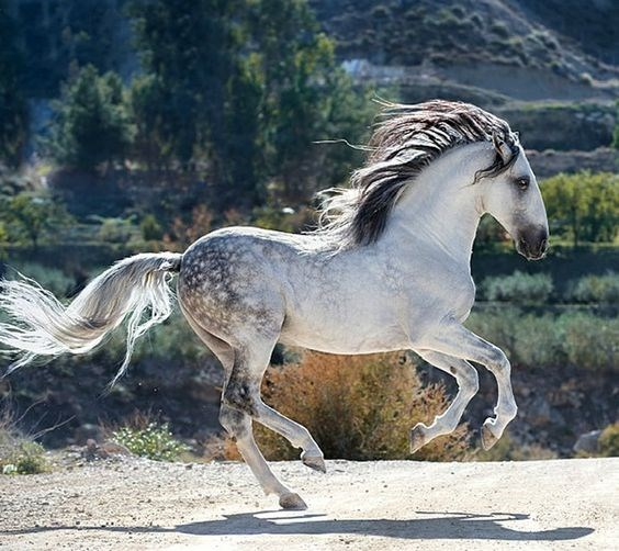 white grey Horse running in front of a river