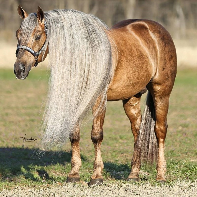 light brown american quarter Horse with a long white mane