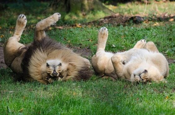 lion and lioness basking in the sunlight upon lushes green grass, like some young kittens and with nearly syncronized poses