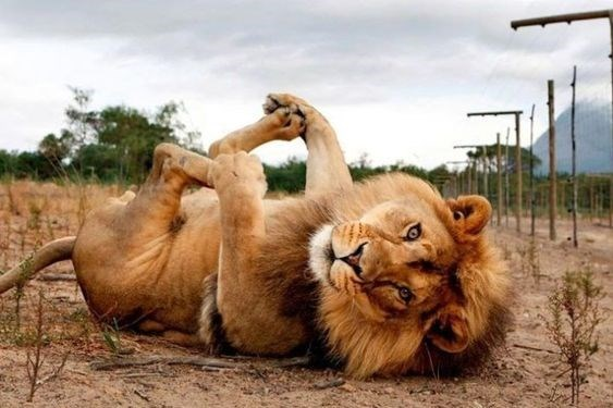 cute lion rolling onto his back and playing with his paws like a house cat
