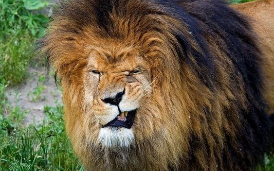lion with giant mane making a grinning face at the camera