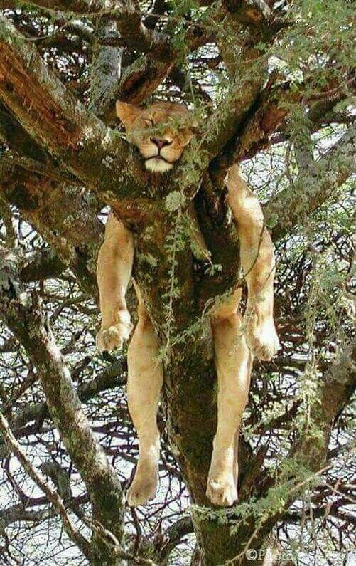 large lioness passed out in a tree like an exhausted house cat