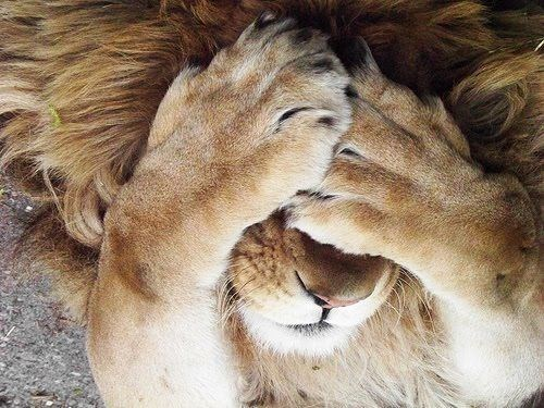 lion putting his paws over his face in a funny pose