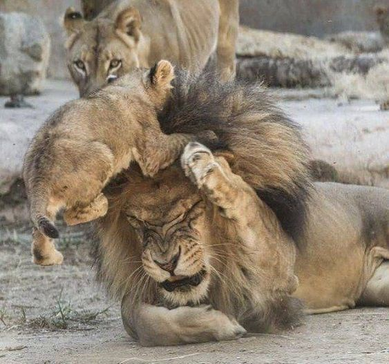 Lion cub jumping on the forehead of a male lion as the lioness looks on in the background