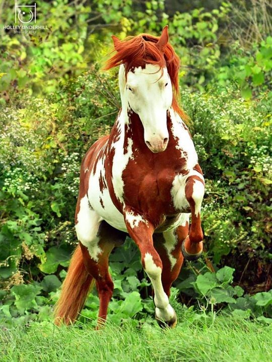 brown and white paint Horse - HOLLEY UNDERHILL