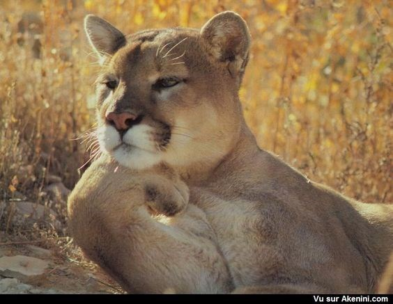 lioness in deep though