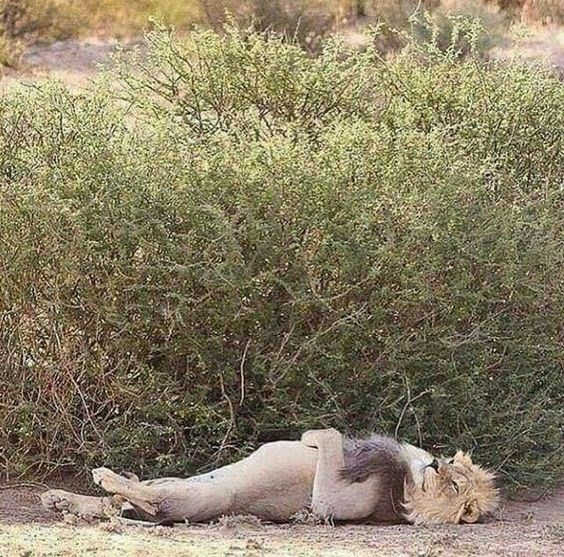 lion lying down on his back and chilling like sunday morning
