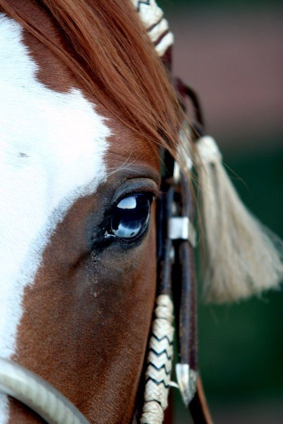 close up of a horse with brown and white markings and a blue eye wearing a bridle