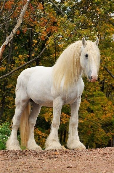 white shire Horse standing in front of trees