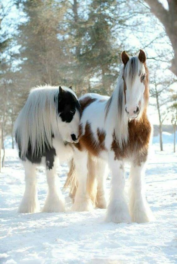 two shire horses with thick fur standing in the snow