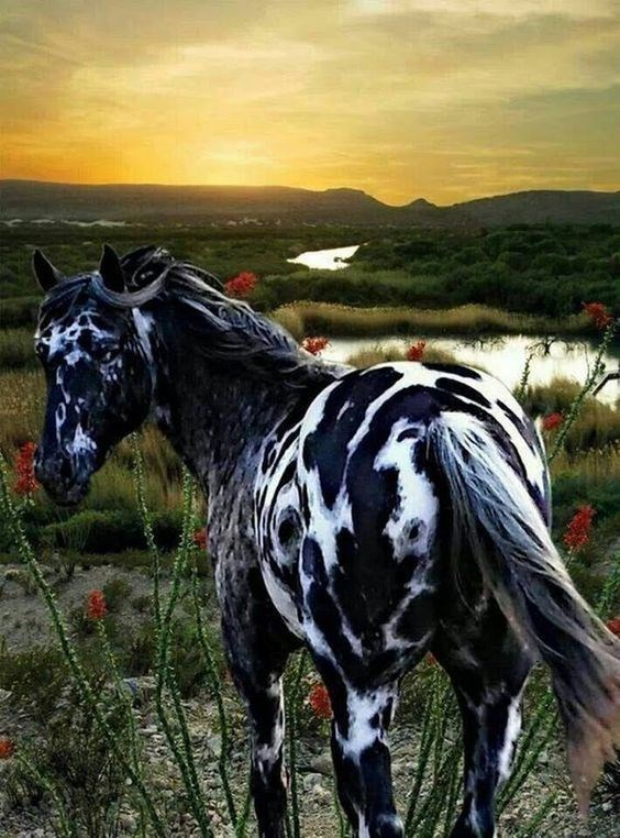 black and white patterned Friesian appaloosa Horse standing in front of beautiful scenery