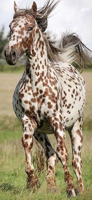 white with brown spots appaloosa horse running
