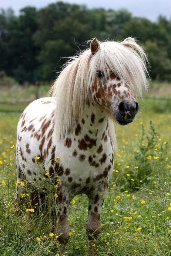 horse - white with brown spots shetland pony with a fluffy white mane standing in a field with flowers