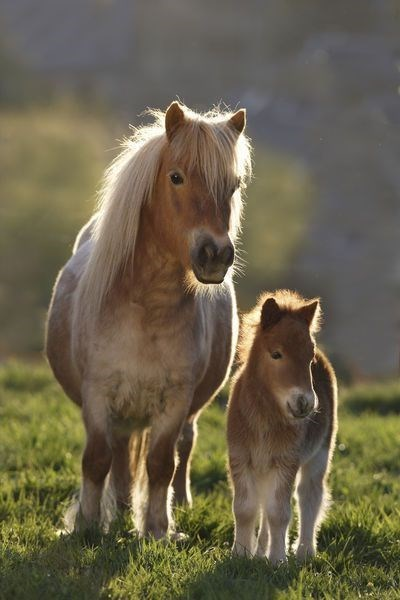 horse - light brown mother shetland pony and her baby, standing on grass in the sunshine