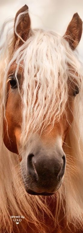 chestnut horse with a blonde mane over its face - prned by LOLO