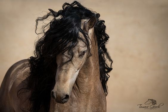 buckskin andalusian horse with a black mane