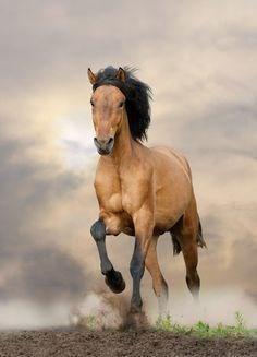 buckskin wild mustang Horse running with dust around it