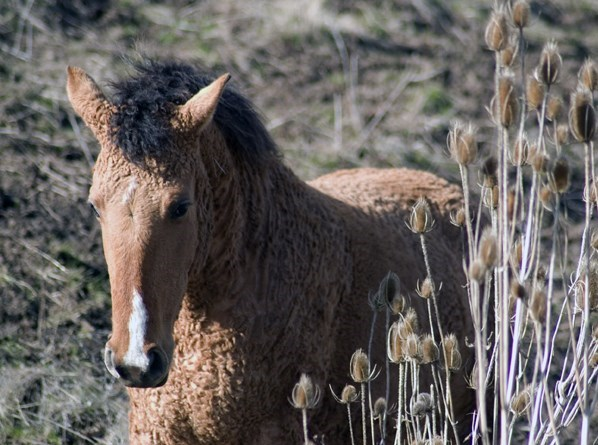 curly horse foal with brown fur and a black curly mane among grass