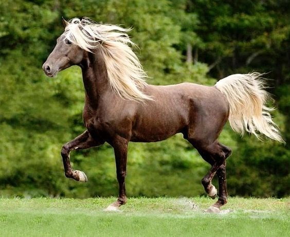 chocolate rocky mountain horse with a flaxen mane running