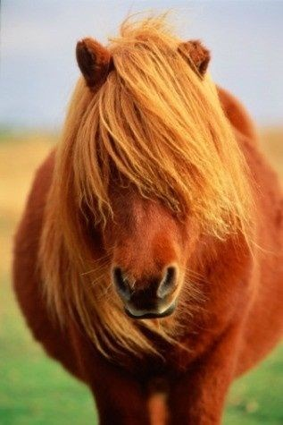 chestnut dartmoor pony with its orange mane over its face