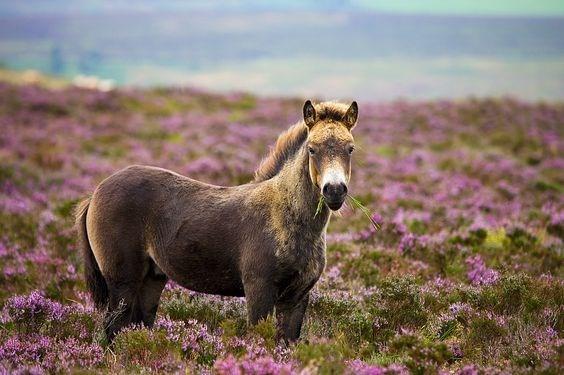 brown exmoor pony in a field of purple flowers