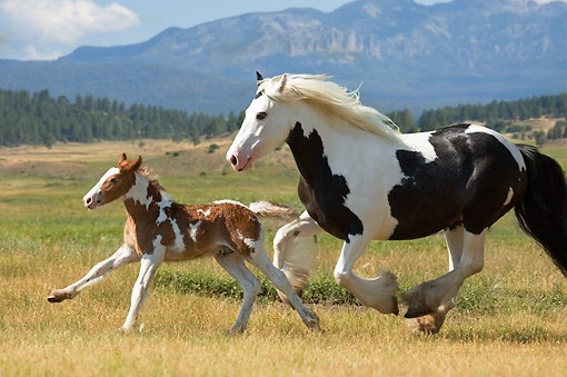 horses - mare and foal gypsy horse running next to each other on a field