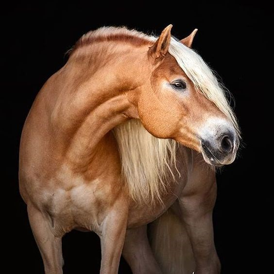 Horse portrait against black background, with blonde hair