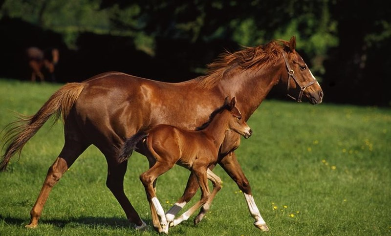 mare and foal chestnut horses running next to each other in a green field
