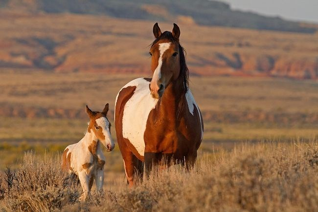 pinto mare and foal with mountains behind them