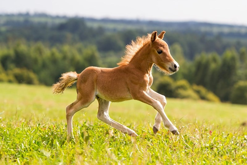 small light brown foal galloping in a field of grass