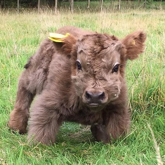 cute animals - Calf