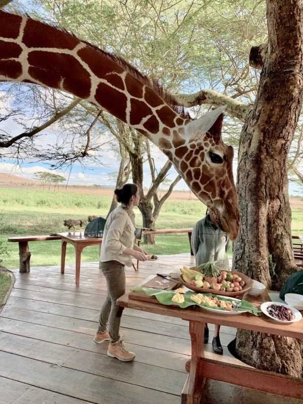 amazing animal photo of giraffe leaning down to a table full of food