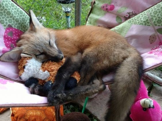 sleeping fox snuggling up with a stuffed animal