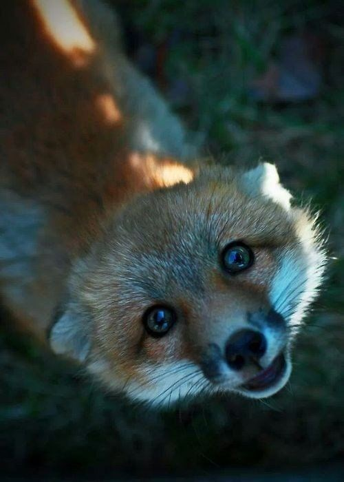 foxes - cute fox lookup up at the camera