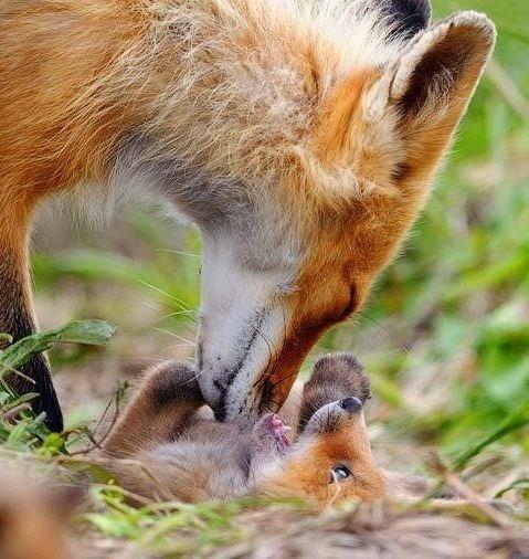 foxes - Vertebrate