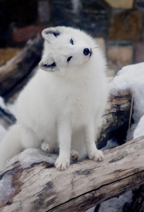 foxes - Mammal