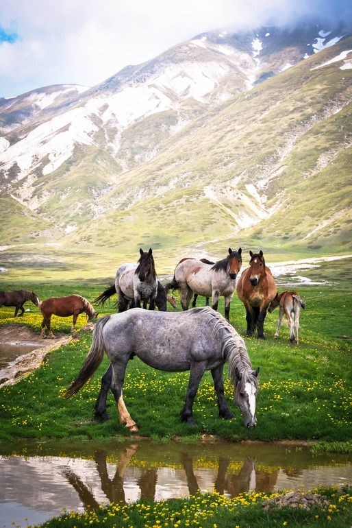 small group of horses grazing in a field with yellow flowers with snowy mountains in the distance.