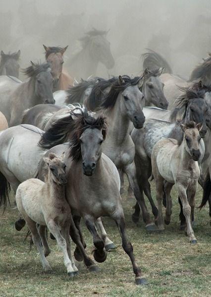 herd of wild grey horses running in a group